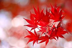 Fire and Ice (lfeng1014) Tags: fireandice japanesemaple autumncolours autumnleaves mapleleaves fallcolours autumnmaple fallenleaves mapletrees maple leaves macro macrophotography closeup bokeh dof depthoffield canon5dmarkiii 100mmf28lmacroisusm redmaple light lifeng