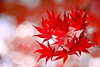 Fire and Ice (lfeng1014) Tags: fireandice japanesemaple autumncolours autumnleaves mapleleaves fallcolours autumnmaple fallenleaves mapletrees maple leaves macro macrophotography closeup bokeh dof depthoffield canon5dmarkiii 100mmf28lmacroisusm redmaple light lifeng