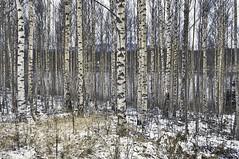 Birch forest (Stefano Rugolo) Tags: stefanorugolo pentax k5 kepcorautowideanglemc28mm128 tree forest birch sweden hälsingland nature landscape
