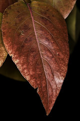 0246937380-95-Fall Colors-3 (Jim There's things half in shadow and in light) Tags: 2017 canon5dmarkiv color design macrophotography tamronsp90mmf28dimacro11vcusd autumn december fallleaves leaf leaves macro nature orange red