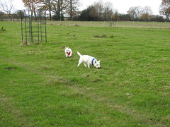 Exploring (Artybee) Tags: sunny samson westie westitude west highland terrier freedom grass walkies