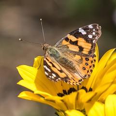Painted Lady On Yellow (gecko47) Tags: lepidoptera vanessa australianpaintedlady vanessakershawi sunshine flower yellow morningtonpeninsula safetybeach vivid