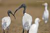 Looking Back... (Anirban Sinha 80) Tags: nikon d610 fx 500mm f4 ed vrii n g bokeh bird ibis beak head angle natural field