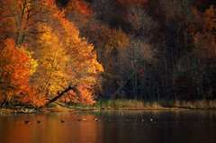 The old Forest (Captions by Nica... (Fieger Photography)) Tags: trees tree branches forest fall autumn serene reflections reflection fallfoliage landscape lake outdoor nature geese bird birds shoreline quebec canada