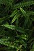 Water Ferns (south*swell) Tags: newzealand milfordtrack nature fern plant kiwikiwi waterfern green greenery
