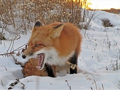 Screaming Fox (marylee.agnew) Tags: red fox vulpes snow cold nature wildlife outdoor winter screaming