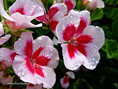 alegria 052 (adioslunitaadios) Tags: flor plantasyflores gotasdeagua macro pétalosrosa pétalos fujifilm colorido jardín campo