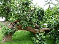 Mulberry tree, Caversham Court Gardens (2) (karenblakeman) Tags: caversham uk mulberrytree tree 2017 july cavershamcourtgardens reading berkshire