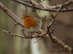 robin (1) (Simon Dell Photography) Tags: nature simon dell photography wildlife birds snow winter scene small cottage borrower house bird table one kind bespoke robin torkshire old english