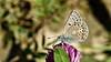 Polyommatus eros (KOMSIS) Tags: kelebek butterfly schmetterlinge farfalla papillon mariposa borboleta πεταλούδα チョウ فراشة バタフライ 나비 пеперутка פרפר ქელებეკი پروانه лептир तितली လိပ်ပြာ թիթեռ প্রজাপতি bábochka бабочка conbướm dagfjärilar féileacán fiðrildi fjäril fjärilar flutur fluture kəpənək көбелек kupukupu leptir liblikas матылёк metulj motyl motýľ motýl motýlů motýlech papallona päiväperhonen perhonen pillangó vlinder чешуекрылые liblikalised animalia arthropoda lycaenidae polyommatuseros erosblue forster'serosblue çokgözlüeroskelebeği nikond810 nikkor105mmvr sommerfugler insect macrophotography outdoor nature buzznbugz ngc wow perhoset rarebutterfly