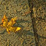 Autumn Maple Leaf on Path 4582 B thumbnail
