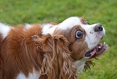 Well, throw the ball! (Caulker) Tags: dog motka look readytorun 01112017