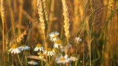 *** (pszcz9) Tags: przyroda nature natura zbliżenie closeup kwiat flower zboże grain owad insect beautifulearth sony a77 bokeh