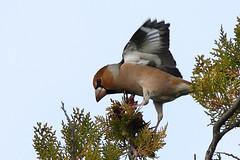 Grosbec casse-noyaux-Coccothraustes coccothraustes (nicéphor) Tags: oiseau grosbec animal faune birds canon tamron150600 nature wildlife