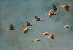 Setting a pace....migration of the Sandhills (LastBestPlace) Tags: sandhillcranes migration wisconsin janekaufman