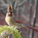 Female Cardinal Hipster thumbnail