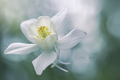 Pure White (Jacky Parker Flower Photography) Tags: aquilegia columbine grannysbonnet flower white selectivefocus focusonforeground closeup horizontalformat floralart beautyinnature freshness fragility springflower springgarden herbaceousperennial bokeh nikon uk outdoors nopeople bloom colorimage inflower