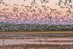 Snow Geese Take Flight (TWK2011) Tags: bosquedelapache sunrise morning water pond mountain mountains sky orange red blue birds sandhillcranes snowgeese egret flock migrate migration