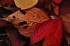 20171126_DP3M3451 (NAMARA EXPRESS) Tags: closeup leaf leaves deadleaf fallenleaves deadleaves tripod daytime autumn cloudy outdoor color toyonaka osaka japan foveon x3 sigma dp3 merrill namaraexp