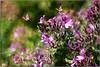 Wild Perlagonium (PaulO Classic. ©) Tags: perlagonium geranium canon eos450d capetown picmonkey photoshop textures