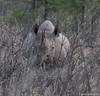 Black rhinoceros or hook-lipped rhinoceros (Diceros bicornis) (wmckenziephotography) Tags: etosha blackrhino ongava endangeredanimal