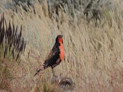 Loica (Juli Perruchoud) Tags: patagonia parquenacionallosglaciares patagoniaargentina argentina elcalafate ice bird avifauna aves avesargentina bandurria loica comesebo hosterialupama birdwatching