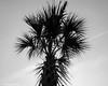 Monochrome Palm Tree (that_damn_duck) Tags: palmtree nature blackwhite monochrome southcarolina bw blackandwhite