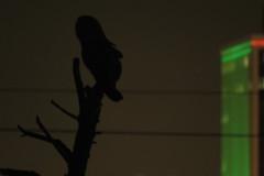 Tyto after dark (stonebird) Tags: barnowl tytoalba ballonawetlandsecologicalreserve areab december stonebird img9561
