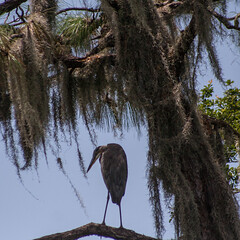 Up a Tree (Explored) (AngelaC2009***) Tags: 2017 summer august florida riverview backyard backyardwildlife bird greatblueheron tree canoneosdigitalrebelxt