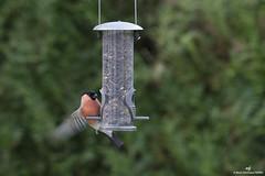 Bouvreuil-pivoine-5 (md-pierru) Tags: ornithologie bouvreuilpivoine