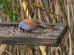 171008_082236_PA080116 - Version 2 (campathmike) Tags: beardedtit panurusbiarmicus rspbleightonmoss bird