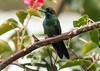 5786- Violet-fronted Brilliant (suebmtl) Tags: bird birding hummingbird violetfrontedbrilliant heliodoxaleadbeateri baeza ecuador napoprovince coth5
