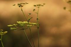 *** (pszcz9) Tags: przyroda nature natura zbliżenie closeup bokeh beautifulearth sony a77