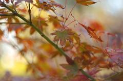 Maple in colors (Baubec Izzet) Tags: baubecizzet pentax nature leaves bokeh maple autumn flickrunitedaward