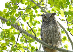 Great Horned Owl...#10 (Guy Lichter Photography - 3.7M views Thank you) Tags: canon 5d3 canada manitoba winnipeg wildlife animal animals birds owl owls greathornedowl