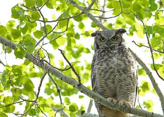 Great Horned Owl...#10