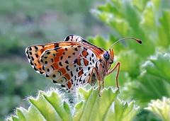 Melitaea didyma (Aellevì) Tags: farfalla lepidoptera