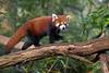 tüdelü (Mel.Rick) Tags: zooduisburg tiere mammals animal natur raubtiere kleinerpanda bären yang ailurusfulgens zoo