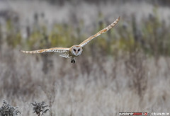 barn owl (tyto alba) (punkbirdr) Tags: barnowl tytoalba kusmin nikon d500 500mmedafsif4 tc14eii14x punkbirdrphoto