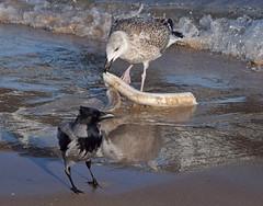 Teilen macht Spass ... (Harald52) Tags: vögel tiere natur fisch strand
