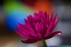 Rainbow heart bokeh! (ineedathis, Everyday I get up, it's a great day!) Tags: bullseyewaterlily garden nature lily nymphaea bokeh waterplant still life vase antiqueinkwell cobaltblue collectible shadow watergarden tropical beauty exotic flower autumn νουφαρο νυμφαια plant hot pink red green nikond750 closeup yellow showy fragrant