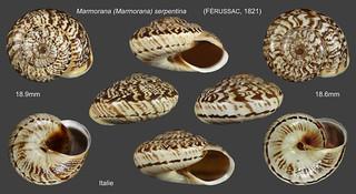 marmorana (marmorana) serpentina planche italie