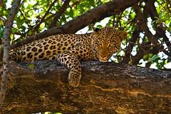 Looking Down On You (iamfisheye) Tags: 150mm20 2013 africa african botswana camera kit lens olympus safari vumbura wilderness zd zuiko e3 leopard