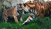laß mich in Ruhe :-) (sigridspringer) Tags: tiere säugetiere raubtiere raubkatzen sumatratiger diana argo zoo osnabrück