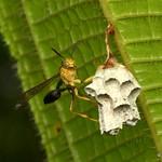 Paper wasp, Mischocyttarus sp. thumbnail