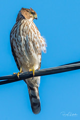 Cooper's Hawk at the Jersey Shore | 2017 - 1 (RGL_Photography) Tags: accipitercooperii animalkingdom birding birds birdsofprey birdwatching coopershawk hawk jerseyshore monmouthcounty mothernature nikonafs200500mmf56eedvr nikond610 ornithology raptors wildlife wildlifephotography juvenilecoopershawk