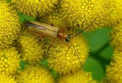 Oedemera podagrariae f - 12 VII 2017 (el.gritche) Tags: coleoptera france 40 garden oedemeridae oedemera podagrariae oedemerapodagrariae asteraceae tanacetumvulgare