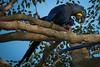 Hyazinth Ara Pantanal (andala08) Tags: brasilienubolivien2017 pantanal brazil brasilien bird vogel ara hyazinthara macaw blue yellow tree baum gelb blau nature natur rare selten bedroht freiewildbahn