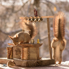 squirrels with mouse at a bar (Geert Weggen) Tags: colorimage medieval autumn eurasianredsquirrel squirrel animalwildlife animalsinthewild dirt eating nopeople old outdoors photography summer sweden halloween holiday witch fly travel magic carry cleaning skeleton death bar beer drink drunk bottle mouse word geert weggen ragunda bispgården jämtland