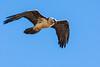 Gypaete barbu (Jean Louis Boué) Tags: oiseau gypaètebarbu formiguèrespyrénéesorientalesfrance accipitridés accipitriformes beardedvulture gypaetusbarbatus bird